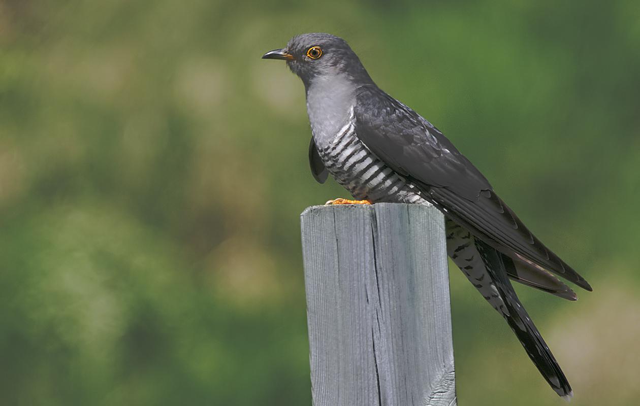 Eurasian Cuckoo …