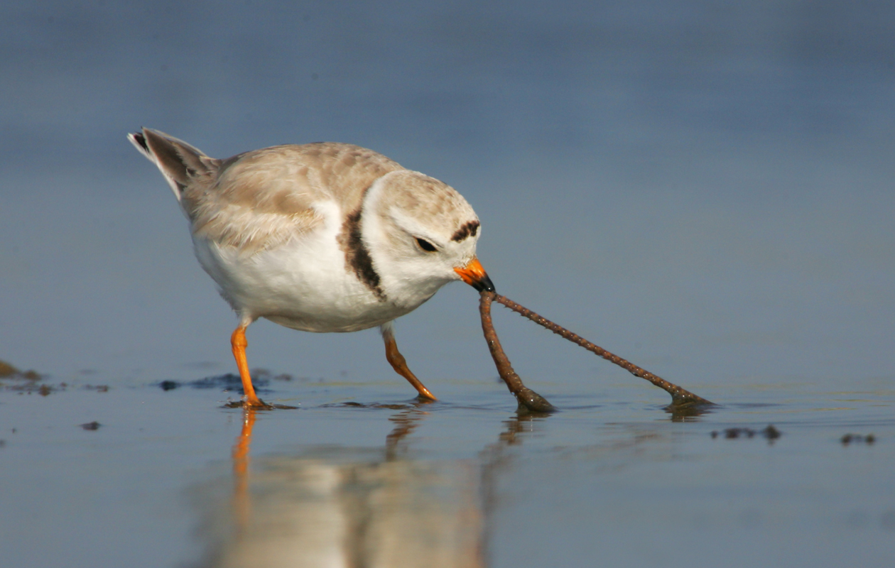 Piping Plover—Massachusetts