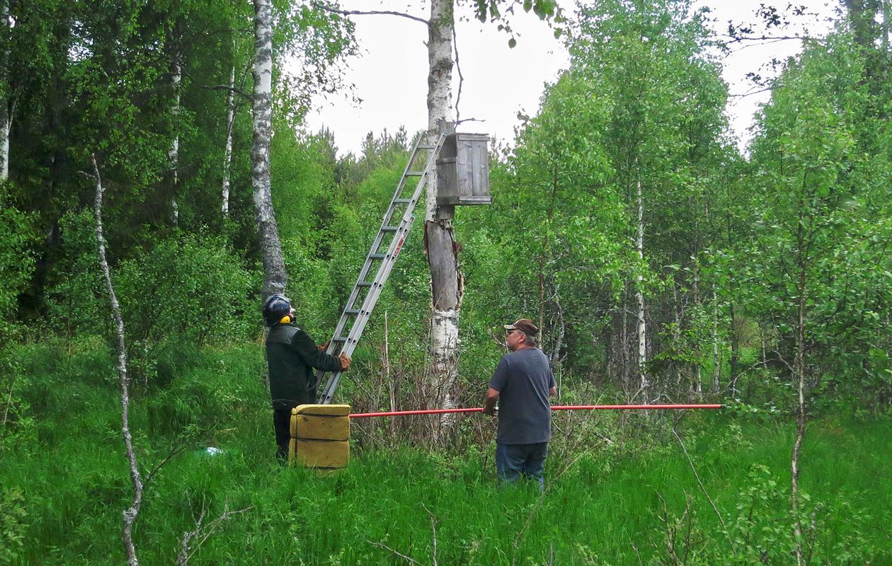 Banding Ural Owl Chicks