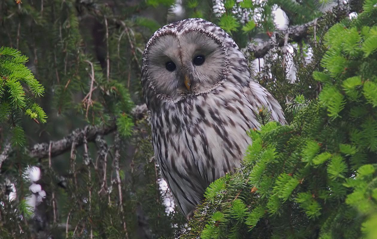 Ural Owl Parent