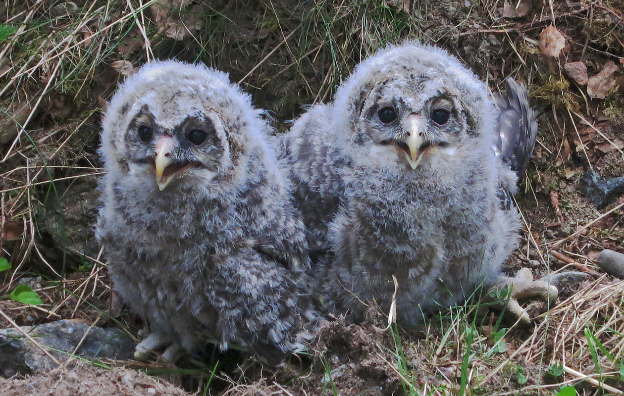 Ural Owl Chicks