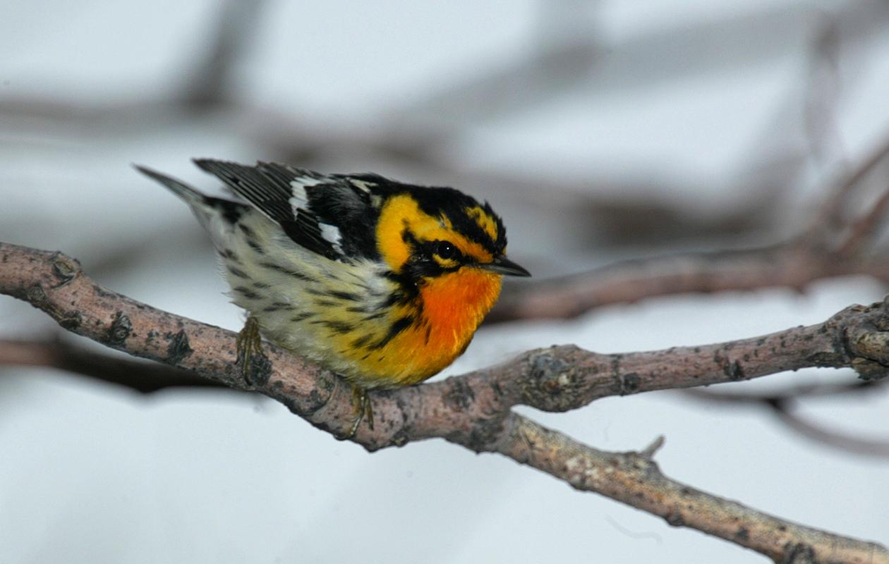 Blackburnian Warbler—Ontario