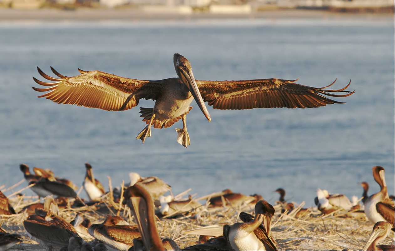 Brown Pelican Landing …
