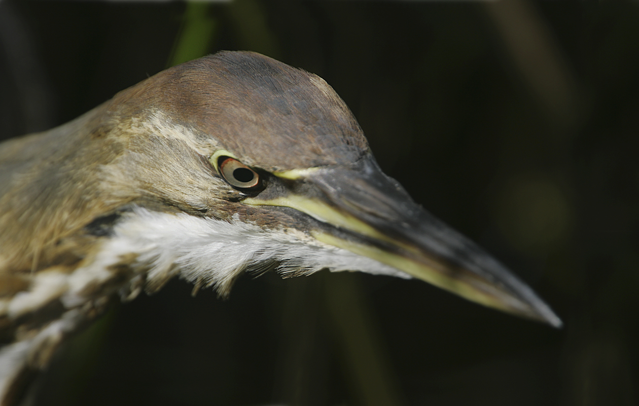 A Close Portrait. Bitterns Are Regular There (vertical Shots Have Been My Norm, Which Doesn't Fit Here :)  Anhinga Trail, Everglades National Park, Jan. 2005.