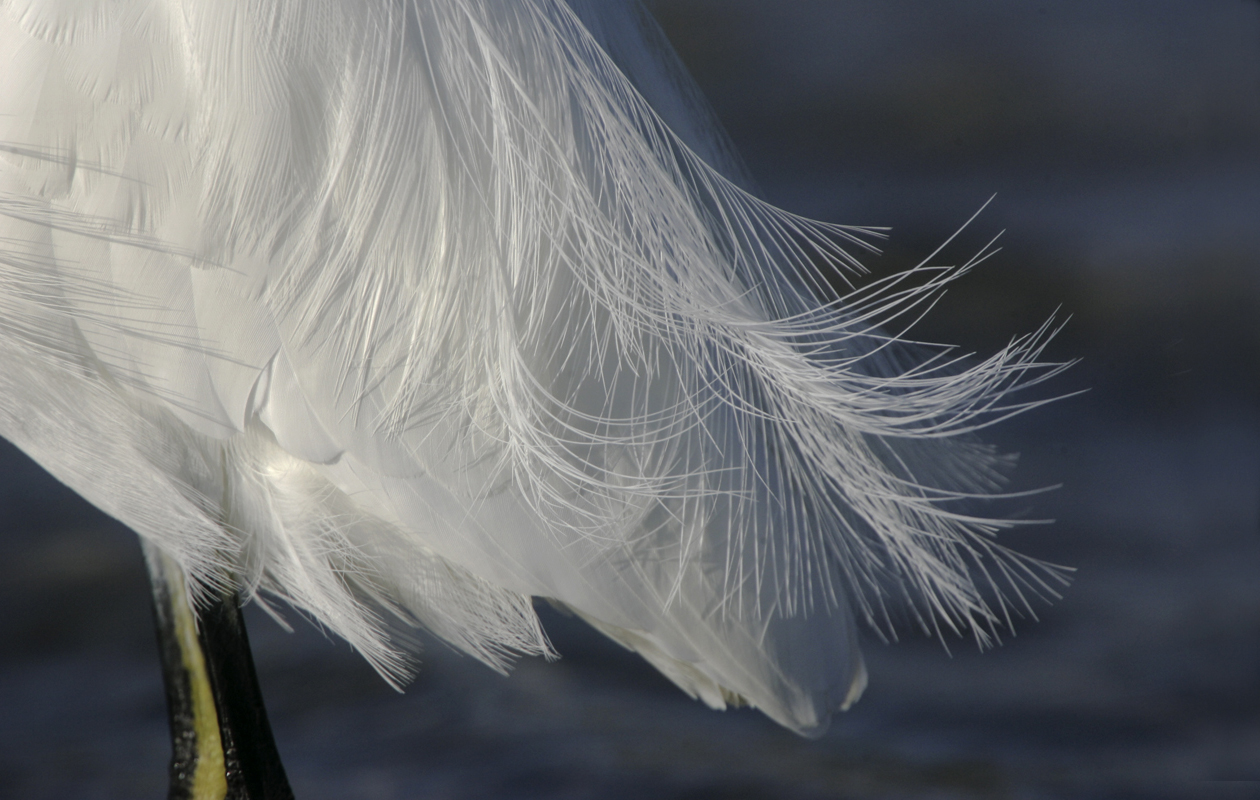 Snowy Egret Plumes