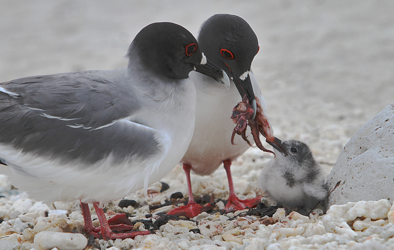 Swallow-tailed Gulls Feeding Chick