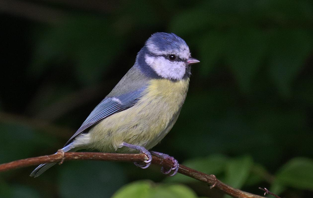 Blue Tit—England