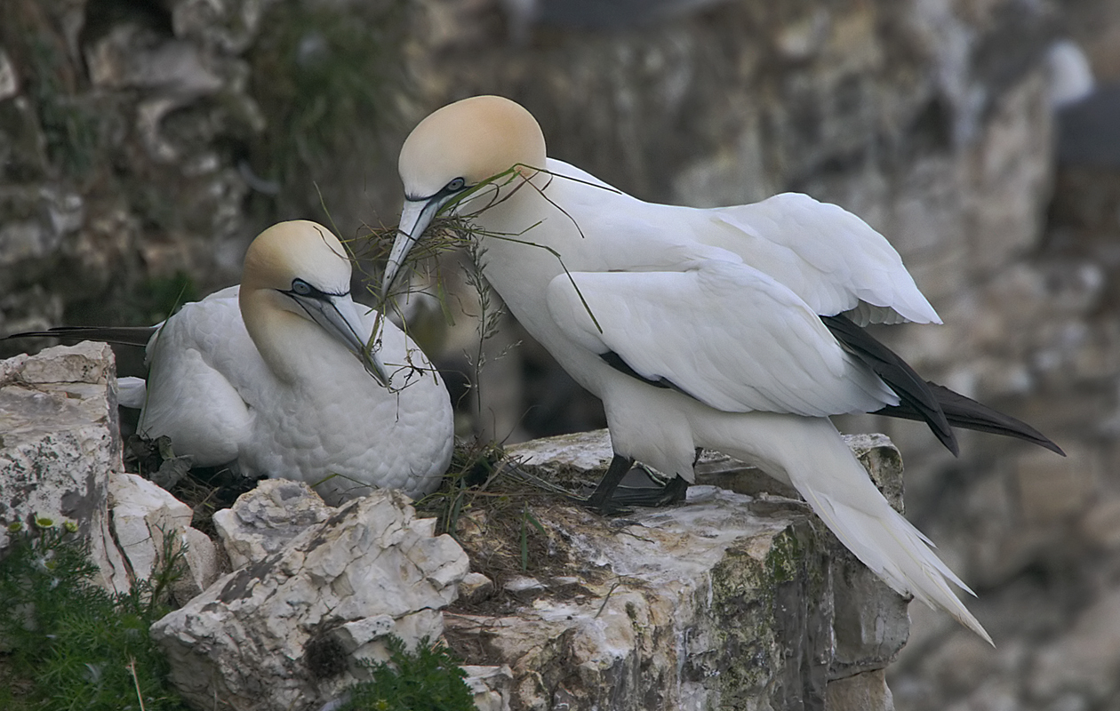 Nesting On Bempton Cliffs, East Yorkshire, June 2013