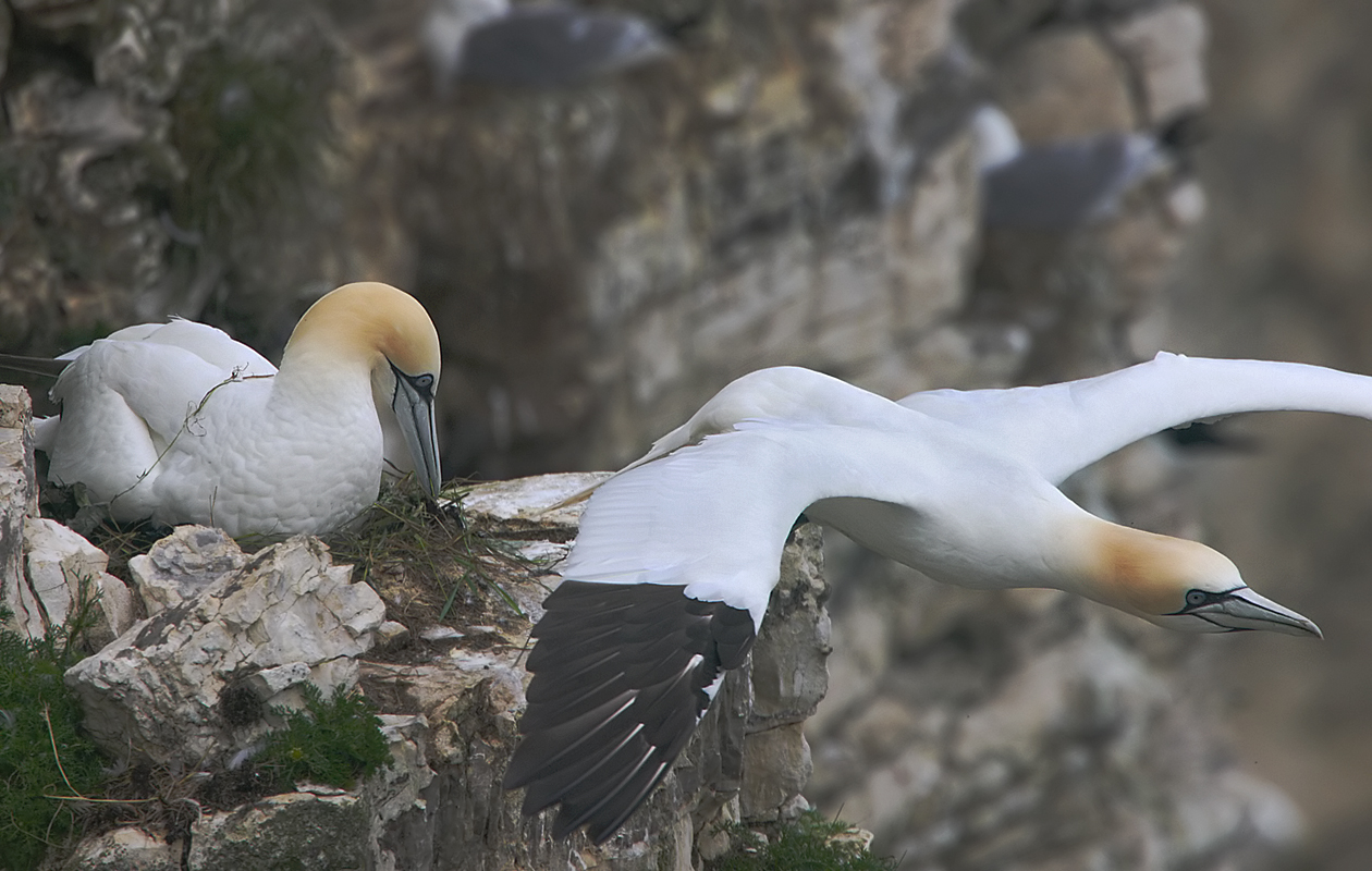 Bempton Cliffs, East Yorkshire, June 2013