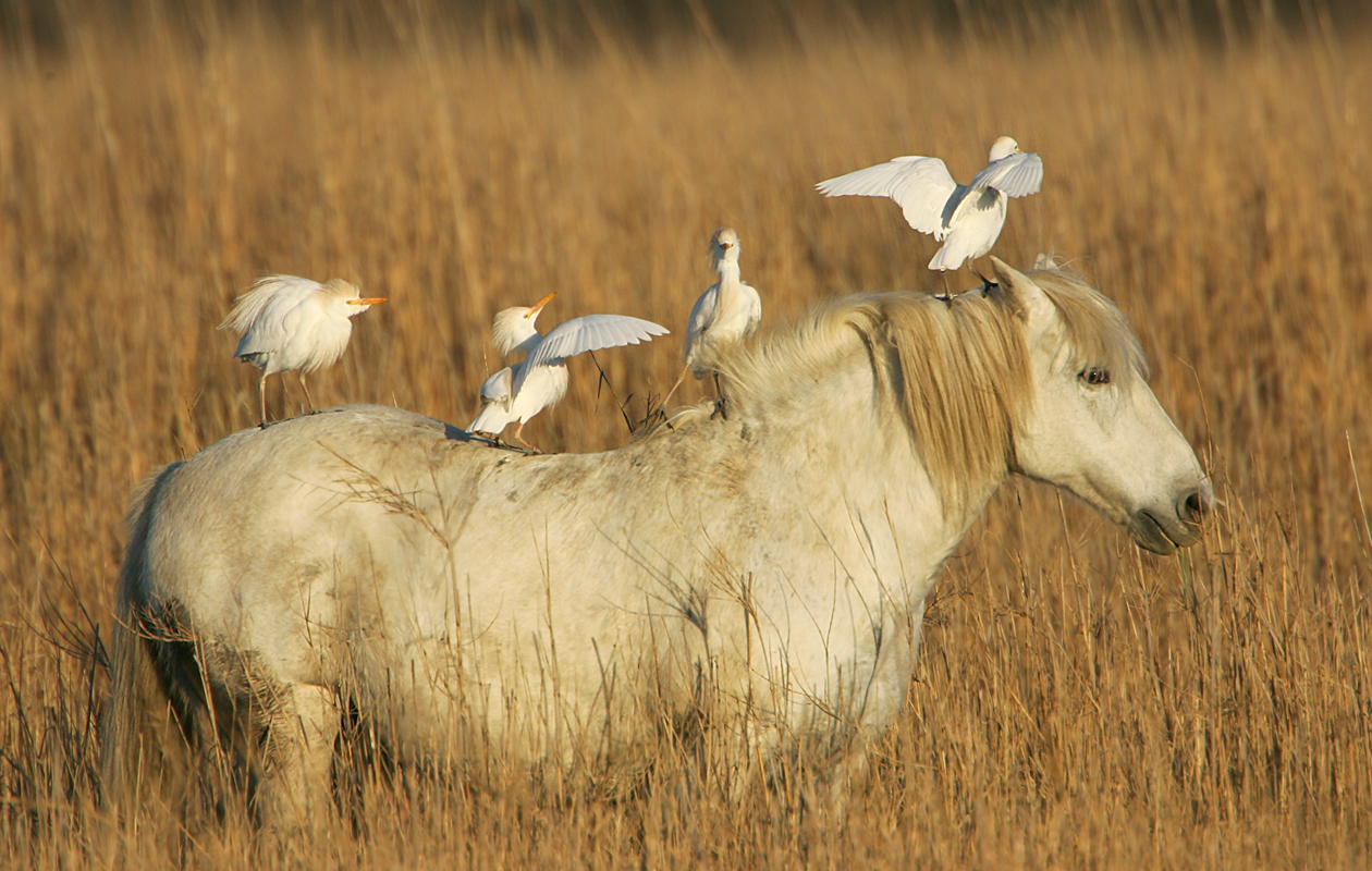 Cattle Egrets—France