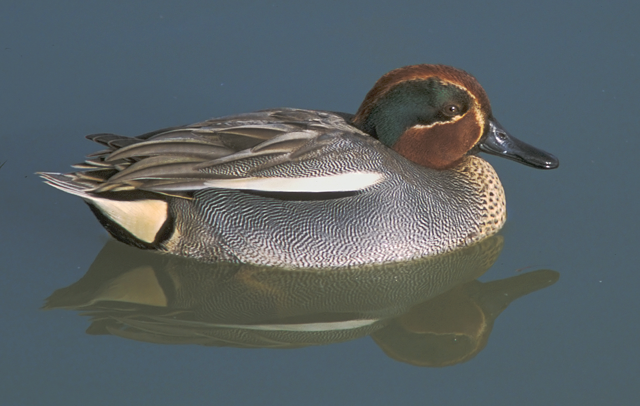 Differs In A Few Minor Respects (noted By Sibley) From Our Green-winged Teal. La Capelière, Near The Gageron Gite. January 2002.