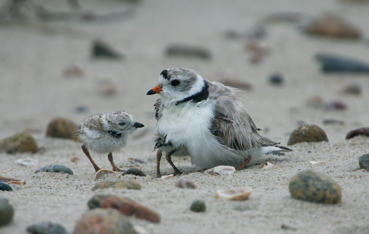 Plover Chicks Brooded