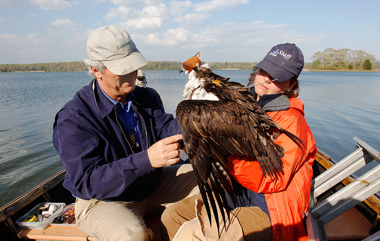 Rob Bierregaard Is Sewing The Transmitter On Samson, An Adult Male Osprey--the Blindfold Calms Him.