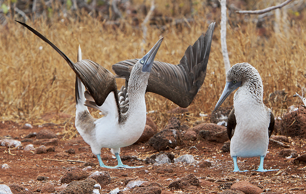 Booby Pair In A Courting Dance
