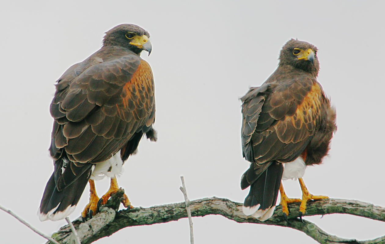They Typically Behave Much More Communally Than Other Raptors.  Laguna Atascosa NWR (on Way From McAllen To So. Padre Island). Feb. 2005.