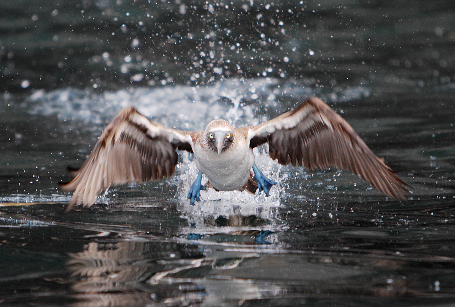 Blue-footed Booby Takeoff