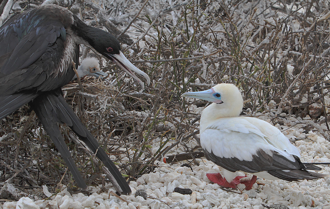Frigatebird Family With A Curious Booby.