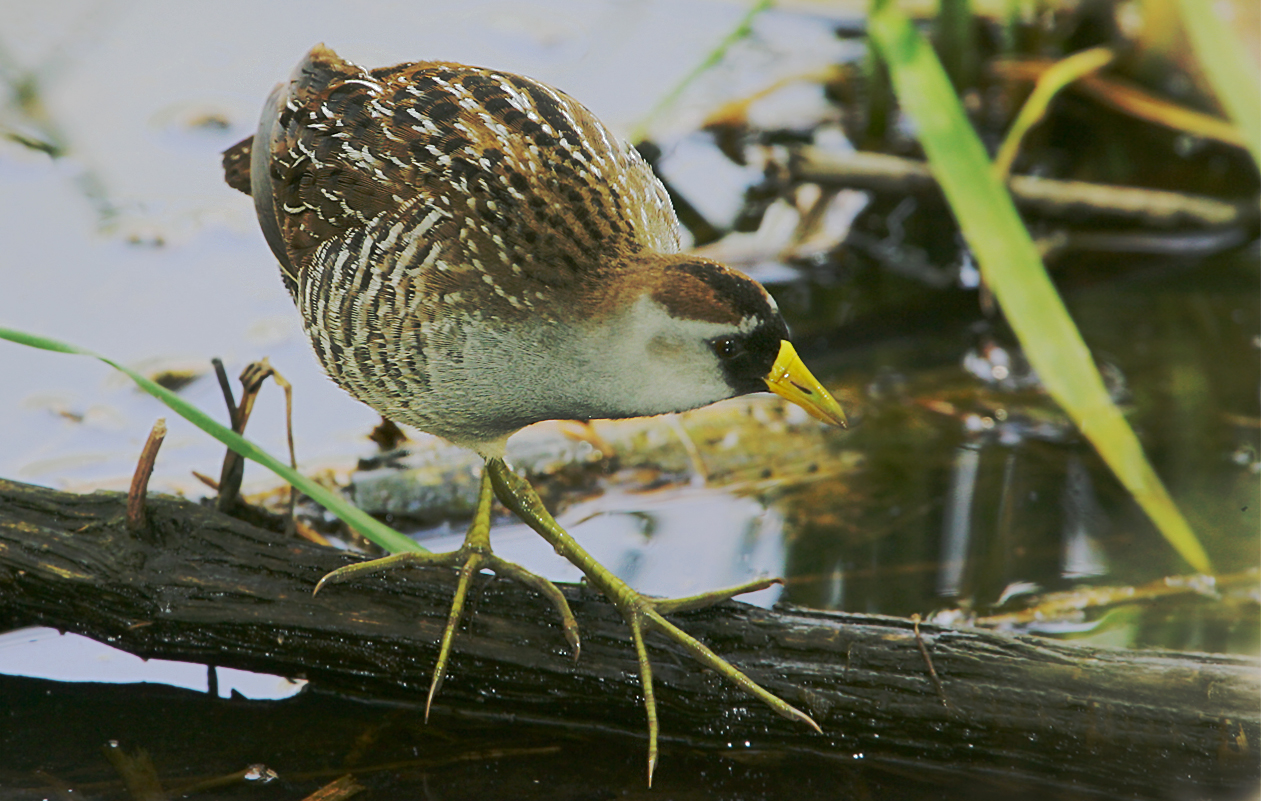 "Titled ""Cross-legged Sora"". Metzger Marsh, Ohio.  Uncommon, But Perhaps The Most Easily Seen Rail."