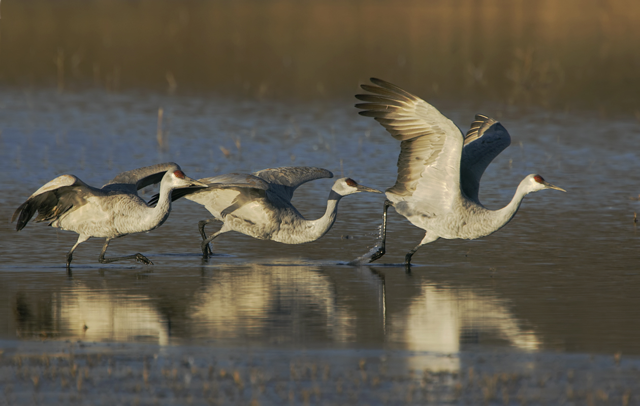 Trio Of Cranes Taking Off