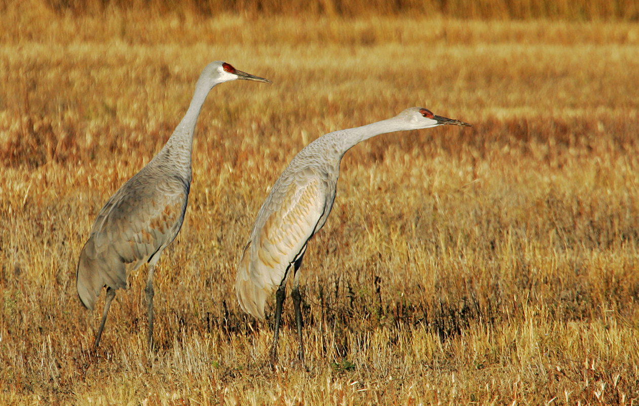 Bosque, Southern Crane Pool, 2004-11. The Forward Lean Is Preparatory To Take-off.