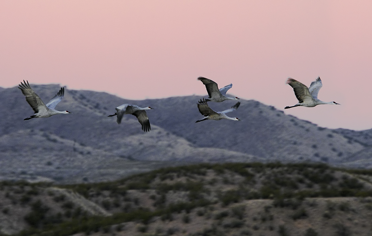 Sandhills In Flight