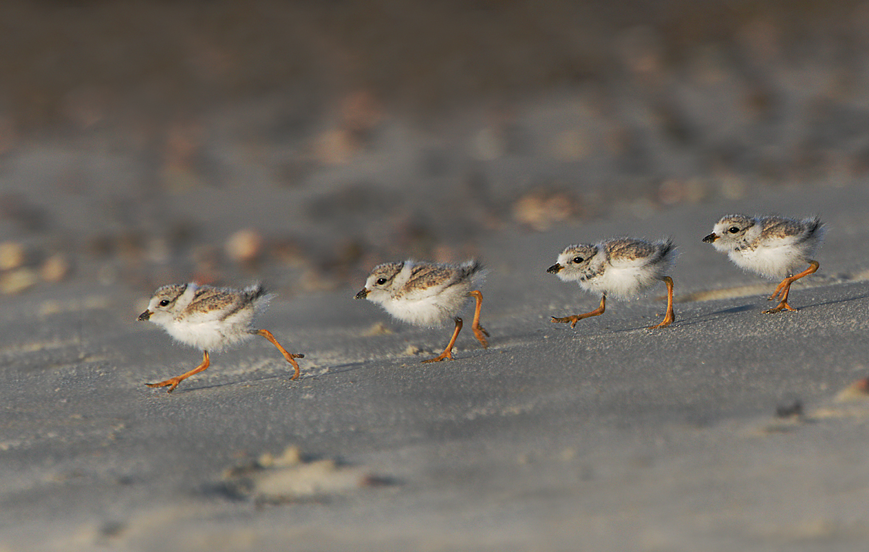 A Piping Plover Chick