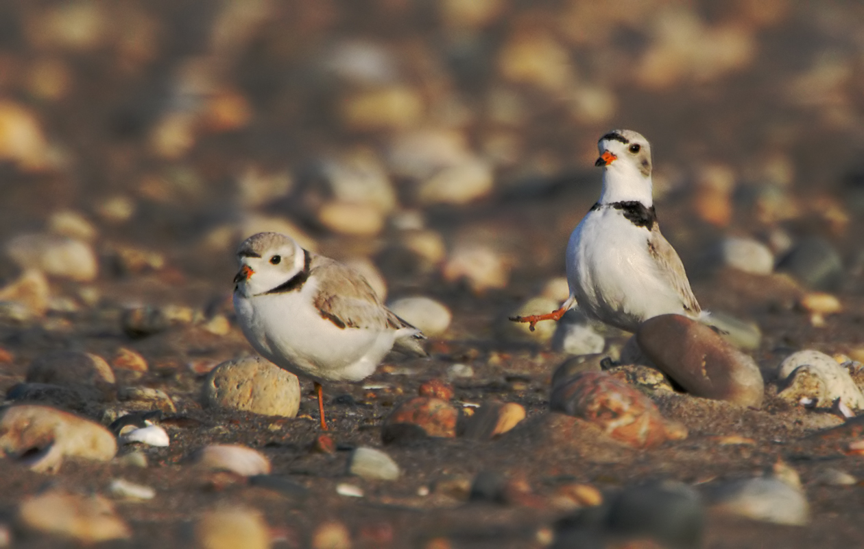 Plovers Highstepping