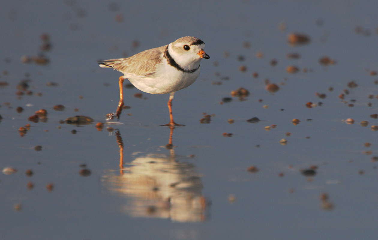 Piping Plover In Full Stride