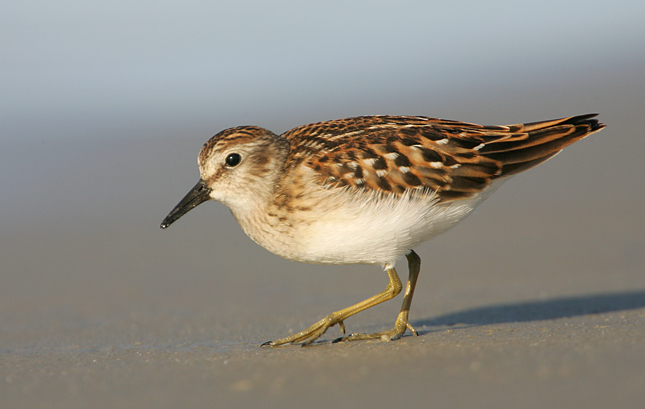 """Early Light""–Least Sandpiper"