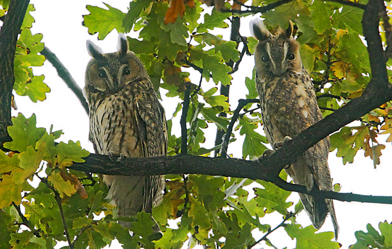 In A Small Town In Hortobagy National Park (probably Hortobagy), At Least 50 Long-eared Owls Were Perched In A Group Of Trees--an Amazing Experience.   Day Trip From Tiszafured, Hungary, 2007-10.