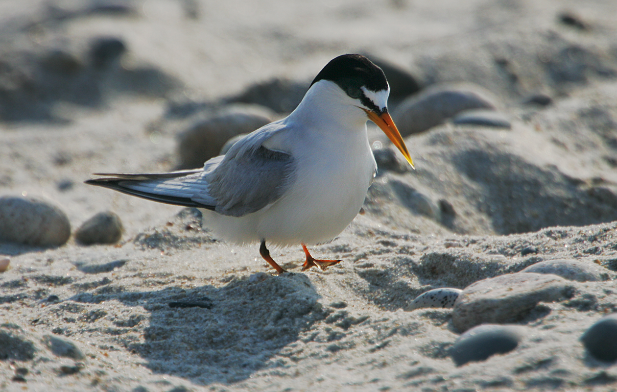 Least Tern With Egg