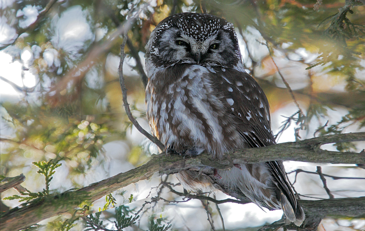 2nd Day Of Our Owling Trip, On Amherst Island. We Knew There Was A Boreal Owl On The Island, But It Took Us A Couple Of Hours To Find It.