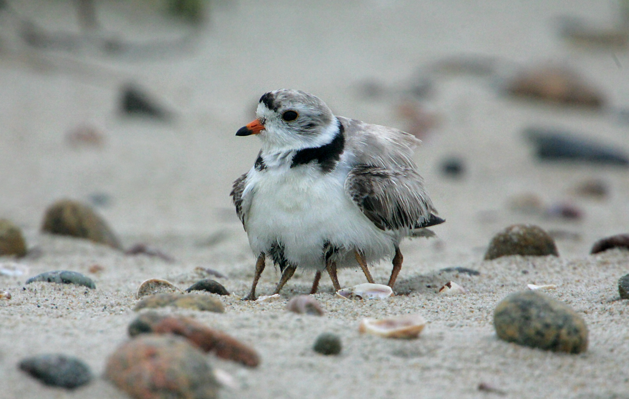 Piping Plover Brooding Two Chicks