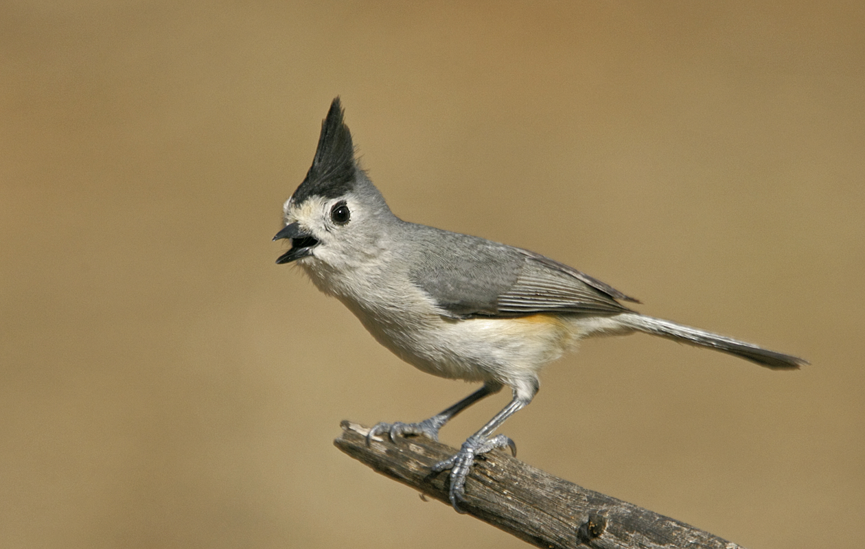Black-crowned Titmouse