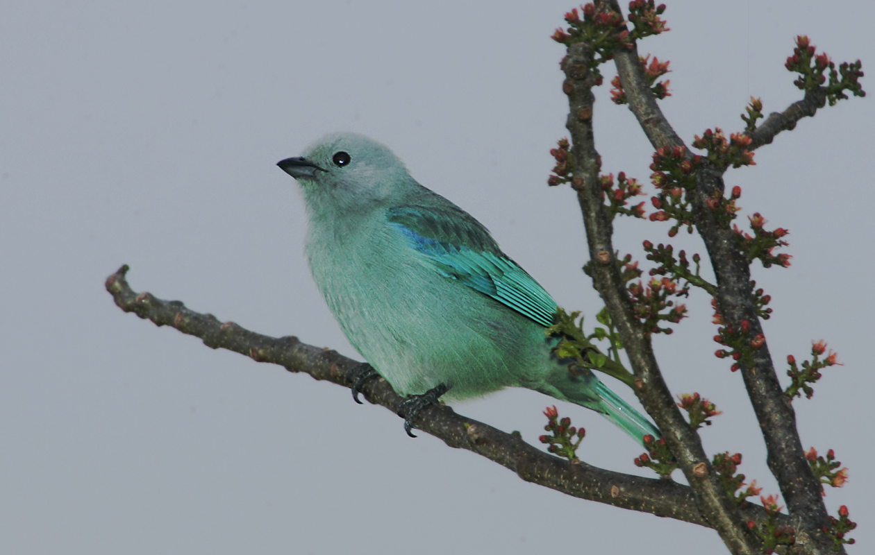 Blue-green Tanager