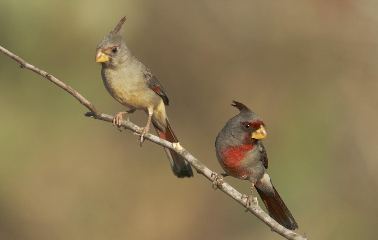 Female (left) And Male.  Cozad Ranch, South TX. Jan. 2008