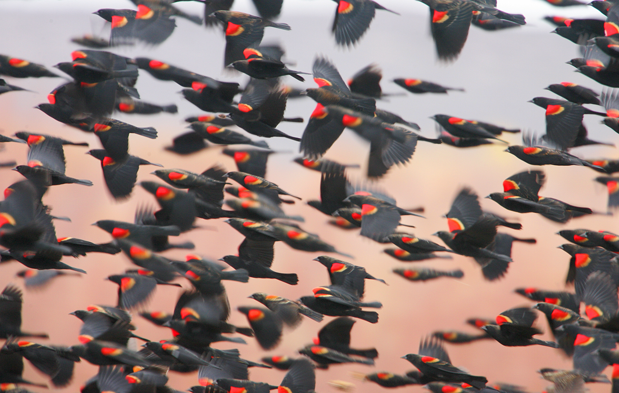 Red-Wing Blackbird Flock