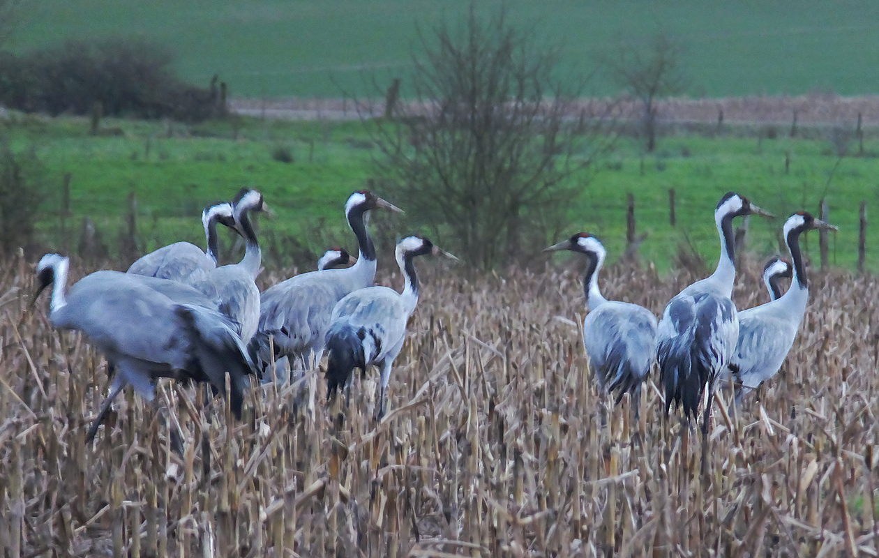 Around The Lac Du Der In The Northeast--an Important Migratory Stopover For Cranes. We Were Visiting Friends In St. Dizier Nearby, In January 2015.