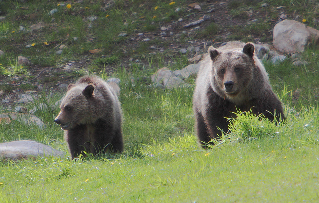 A Cub With Its Mother (presumably).  On The Edge Of The Village In Waterton Lakes National Park.  June 2010.