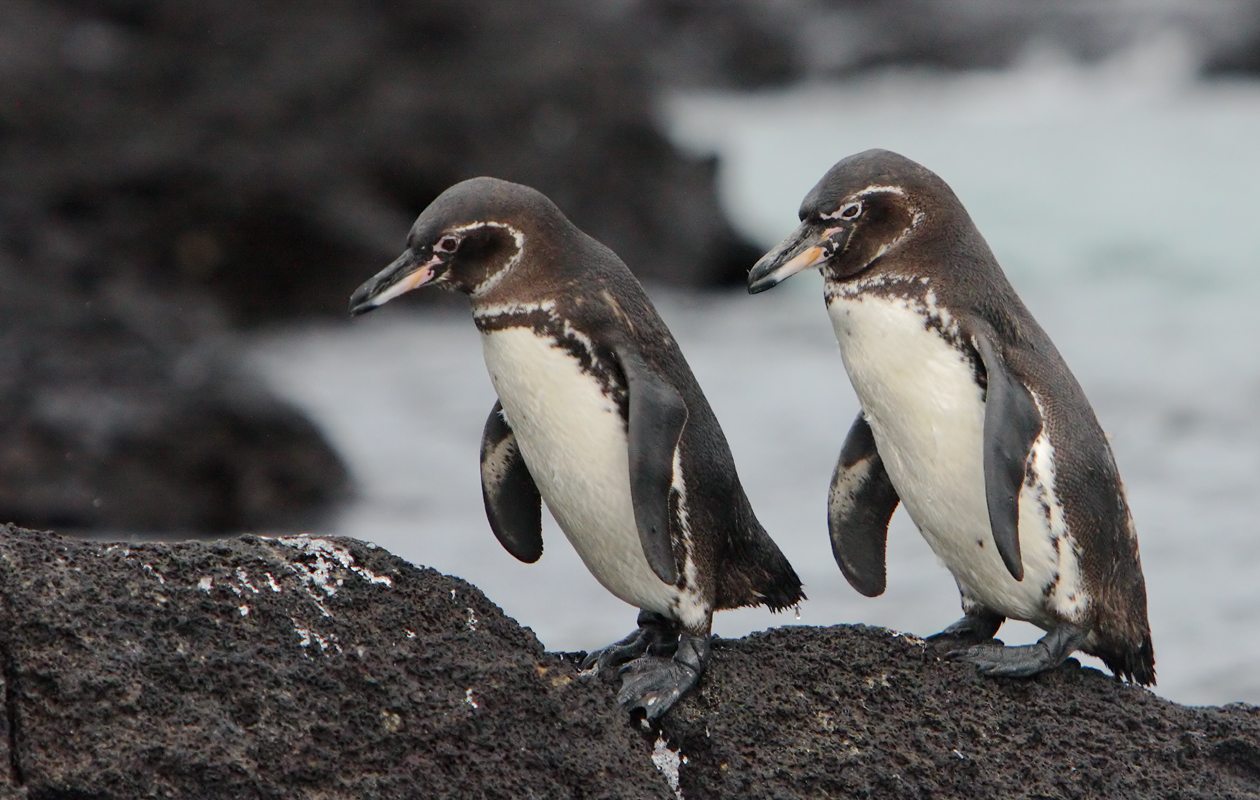 Galápagos Penguins