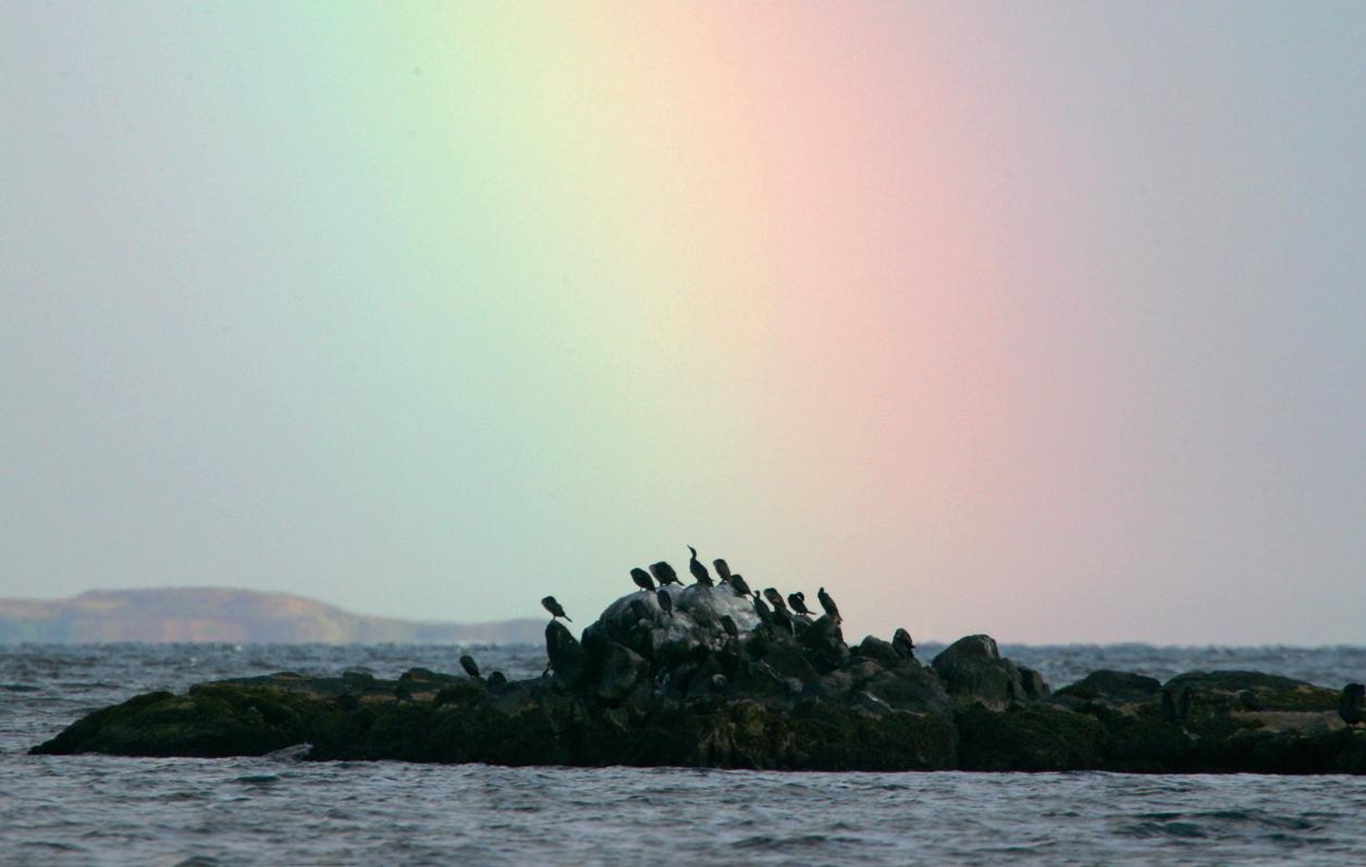 Double-crested Cormorants Under A Rainbow