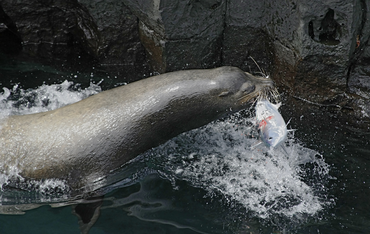 Bull Sea Lion With A Mackerel