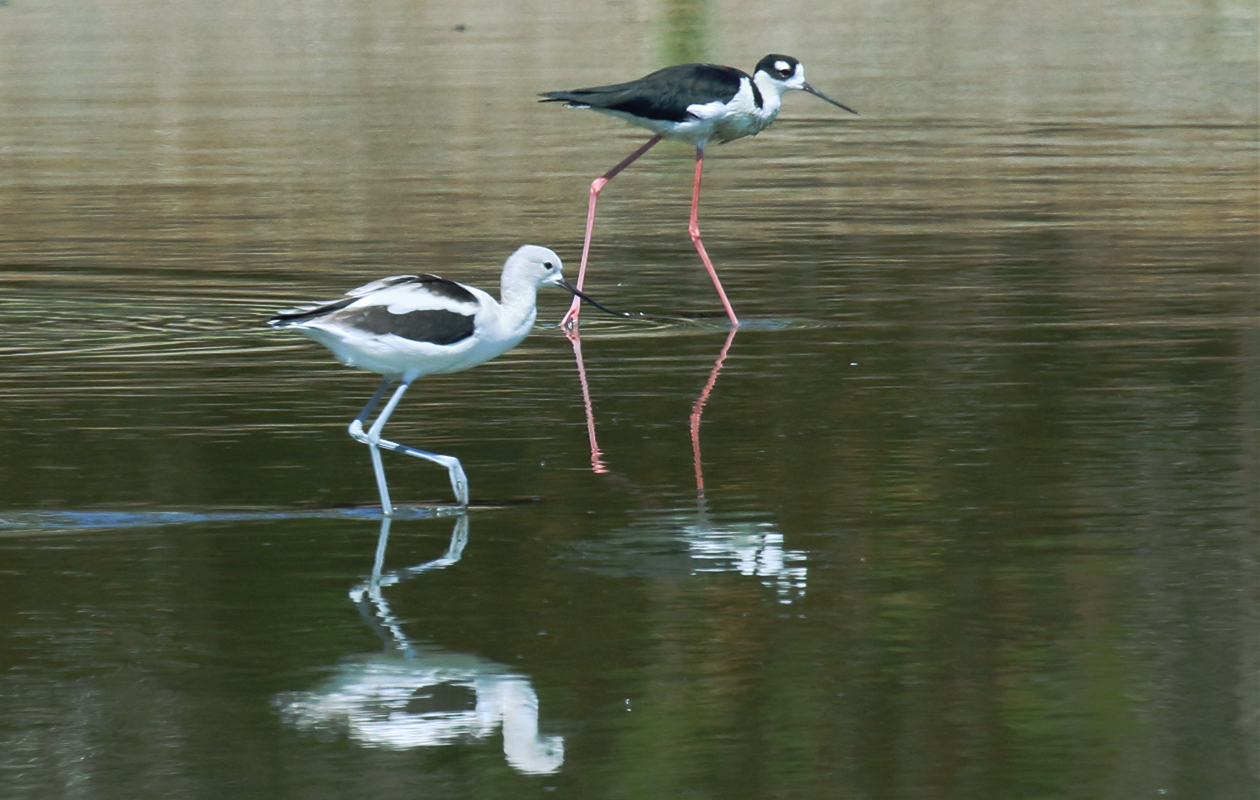 American Avocet And Black-necked Stilt