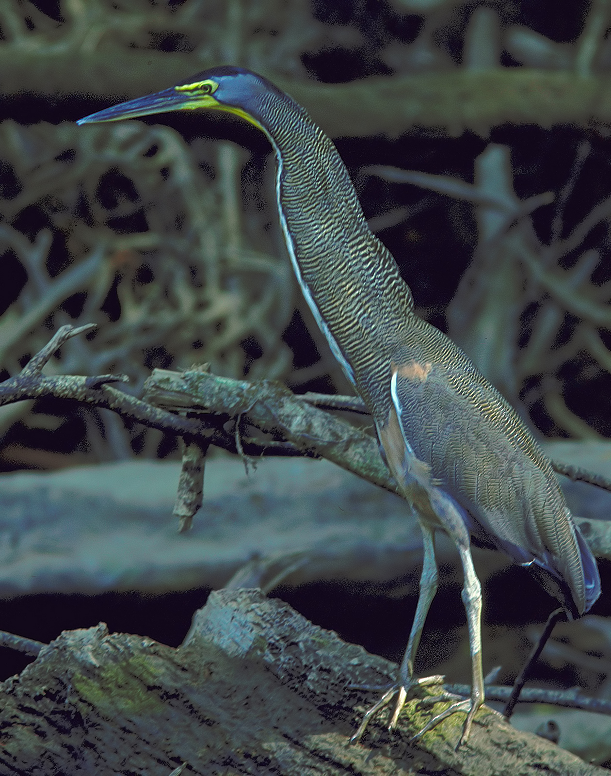 Bare-throaded Tiger-Heron