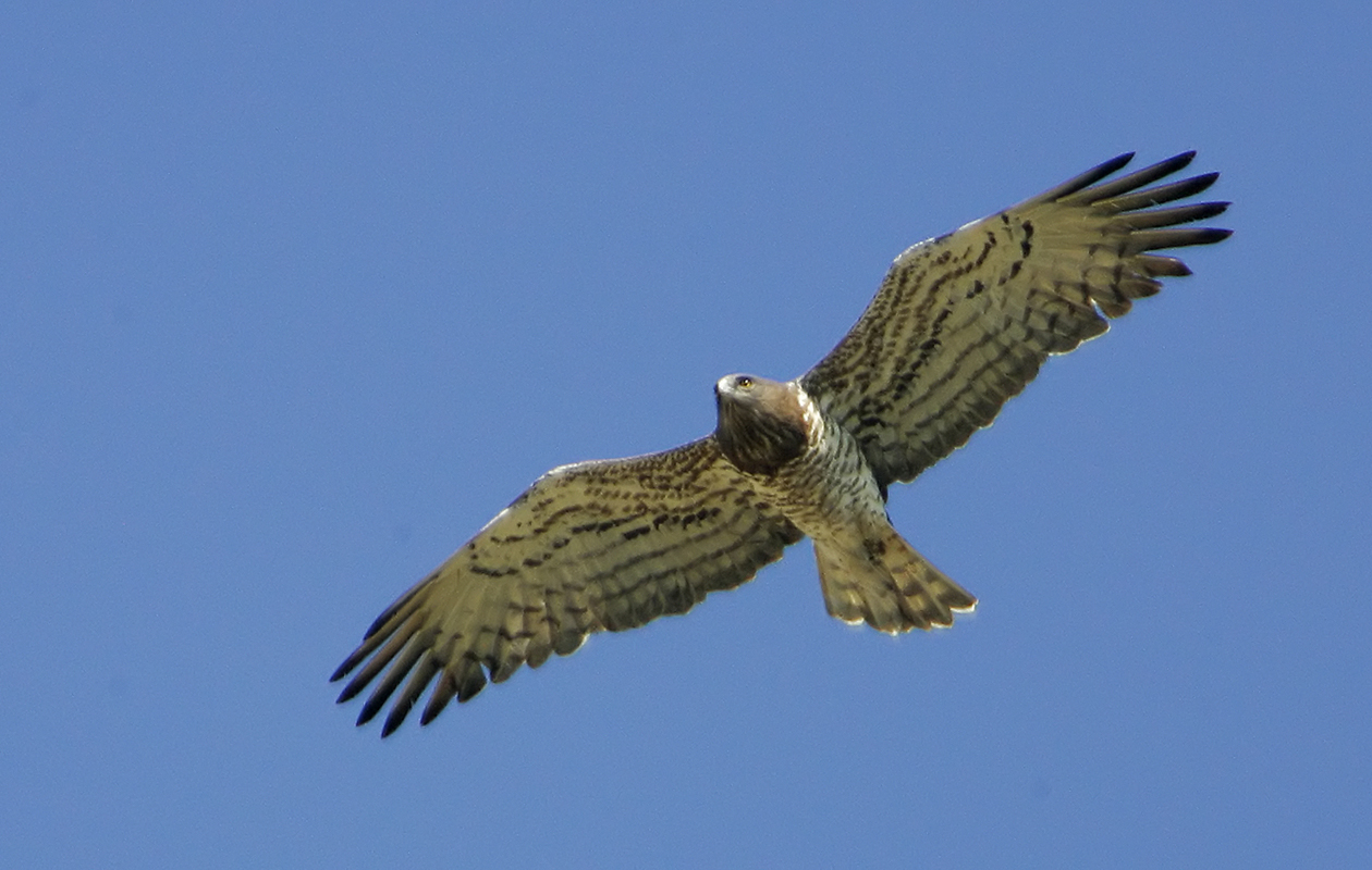 One Of The Most Striking Raptors I've Seen, Drifting Overhead. On Our Usual Circuit From The Gageron Gîte.  April 2005.