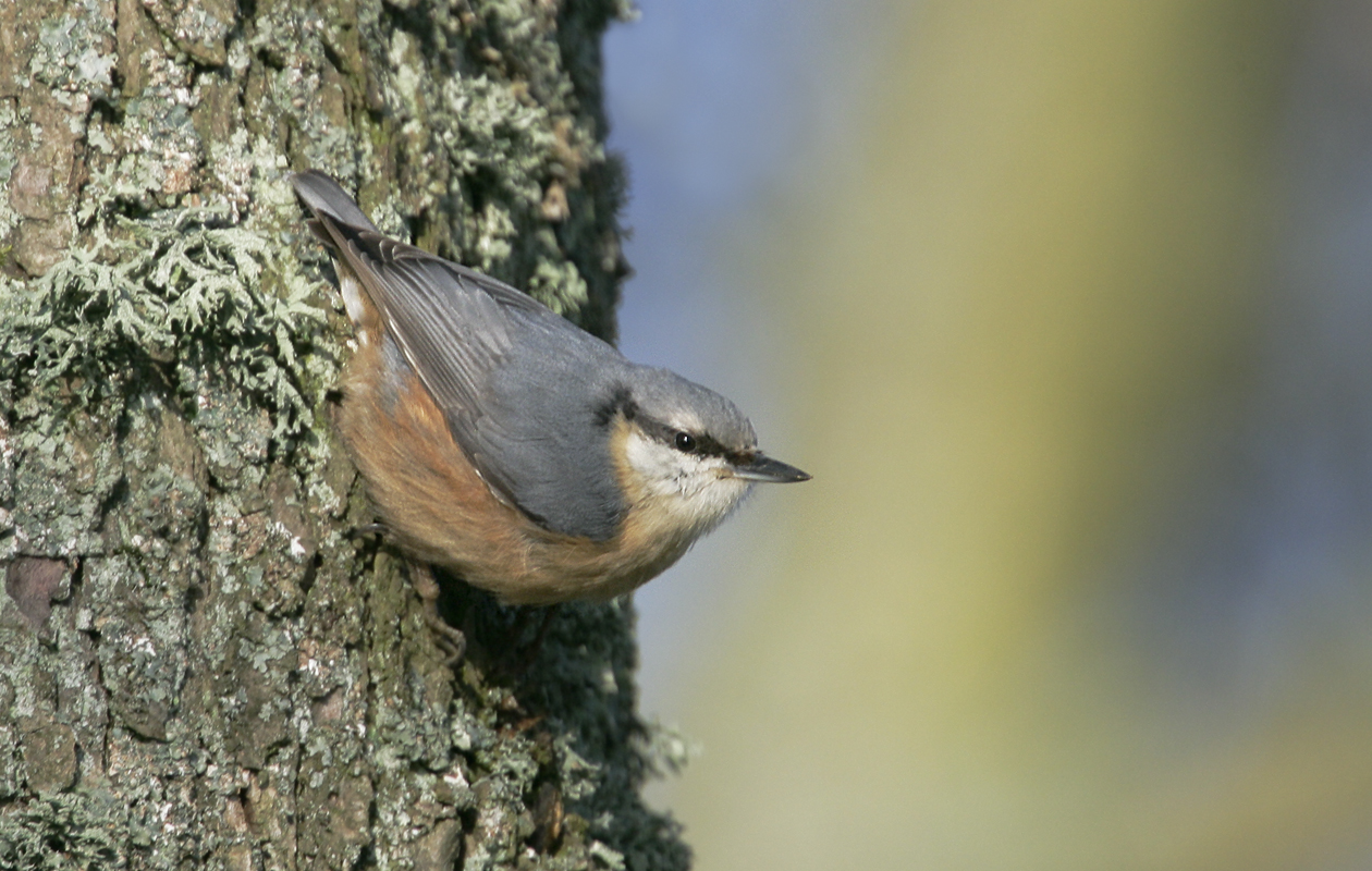 The Only Nuthatch In Europe. Dordogne. Sept. 2013