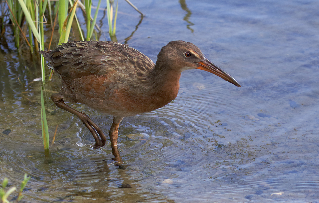 Recently Renamed From The California Clapper Rail. Close As Could Be At The Bolsa Chica Parking Lot.  August 2015.