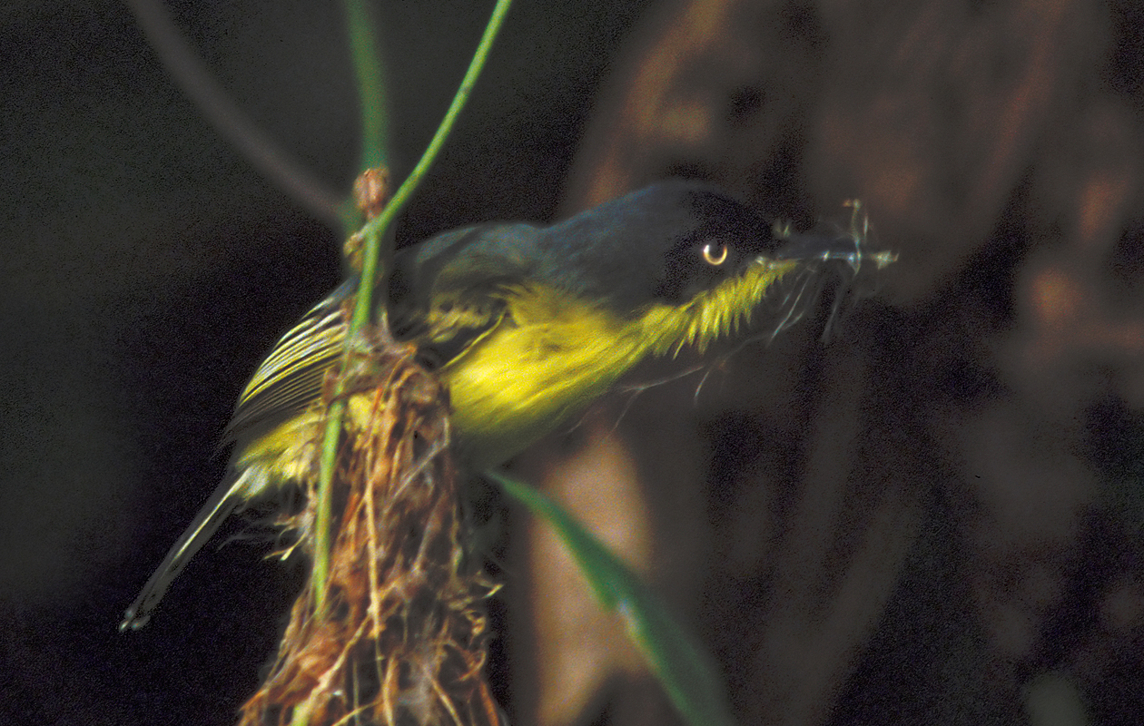 Common Toady Flycatcher