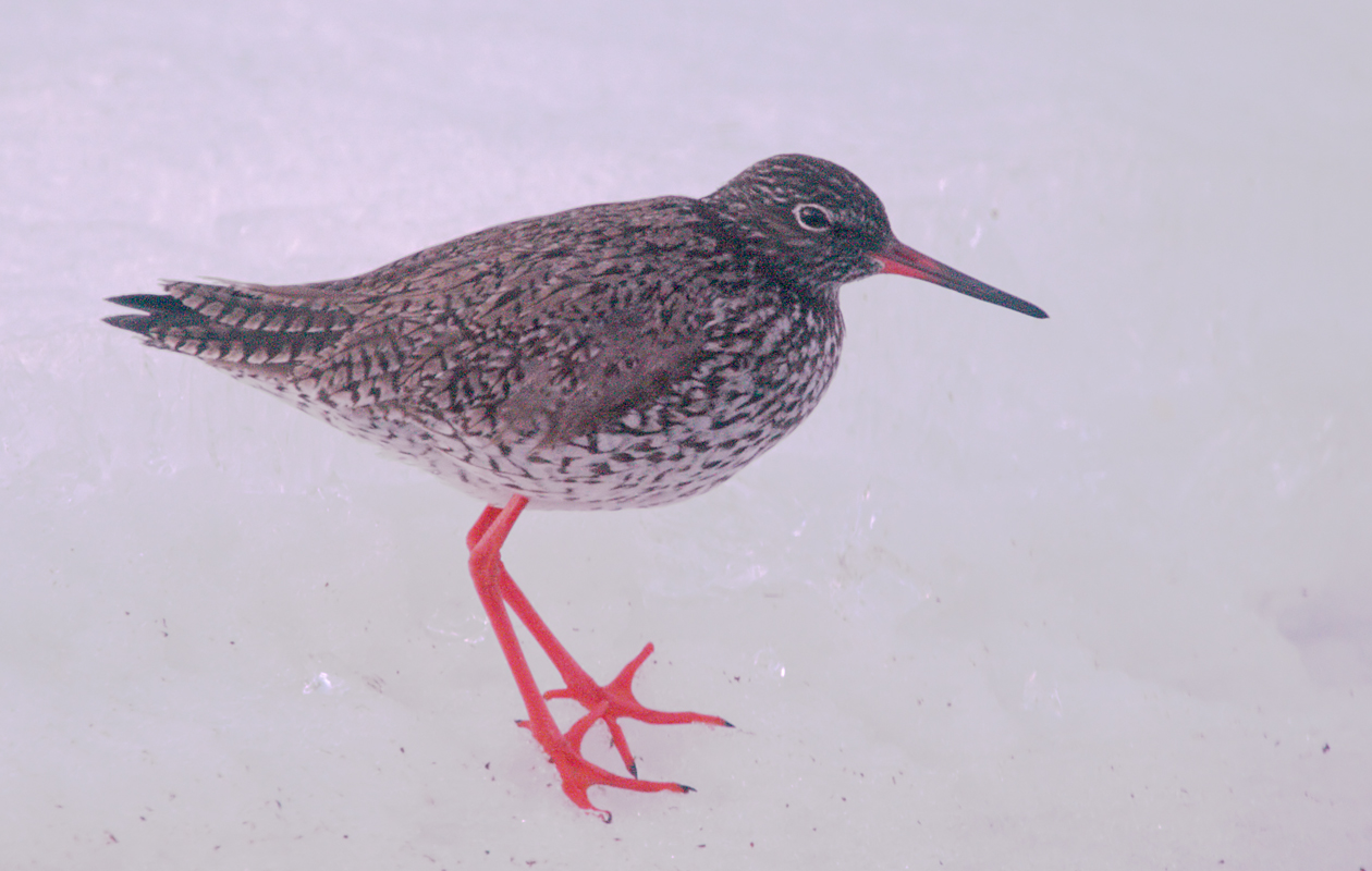 Common Redshank …