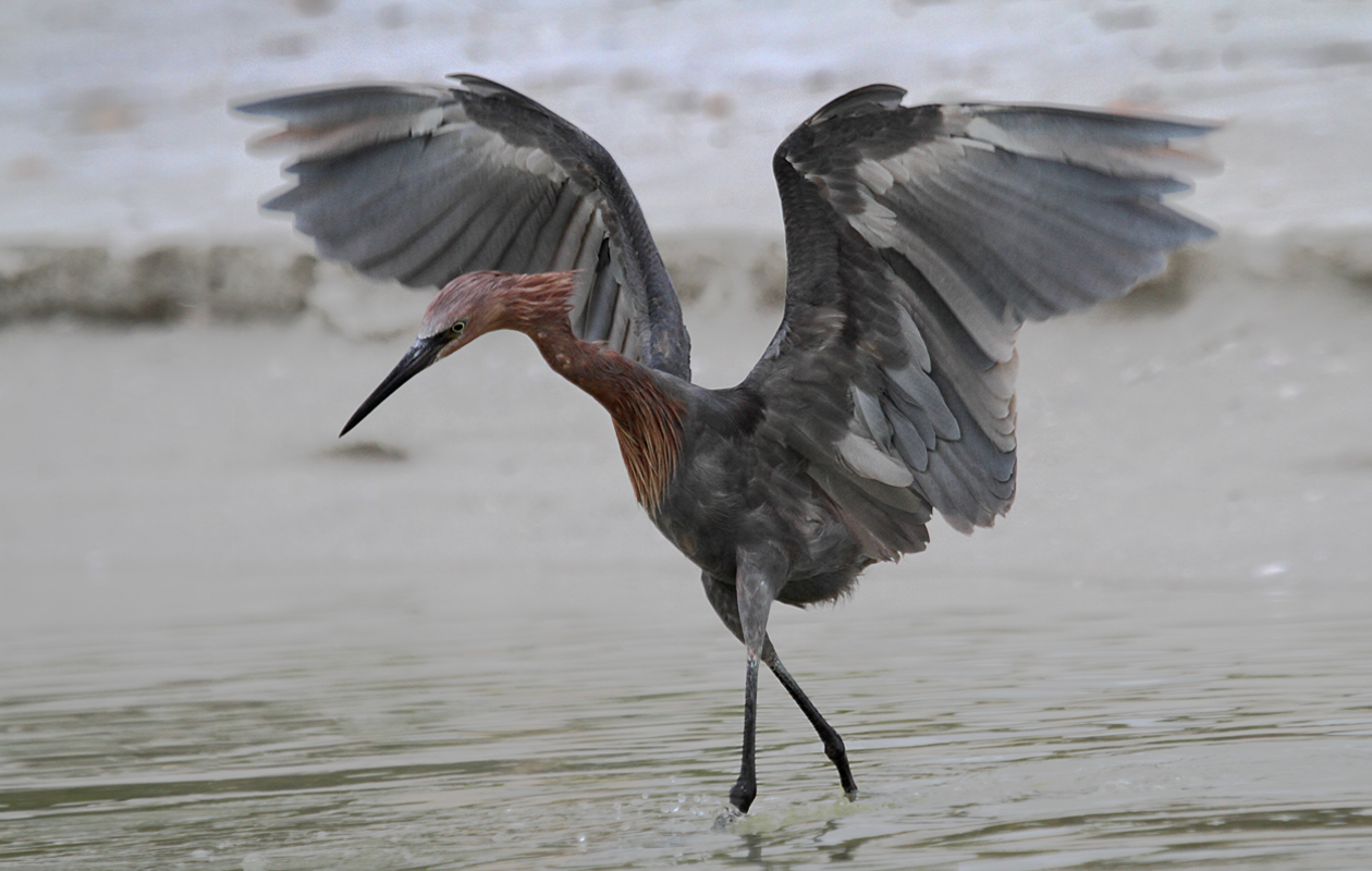 Stalking Prey, With A Characteristic Wing Spread.  Just South Of Little Estero Lagoon,  Fort Myers Beach, Dec. 2011.